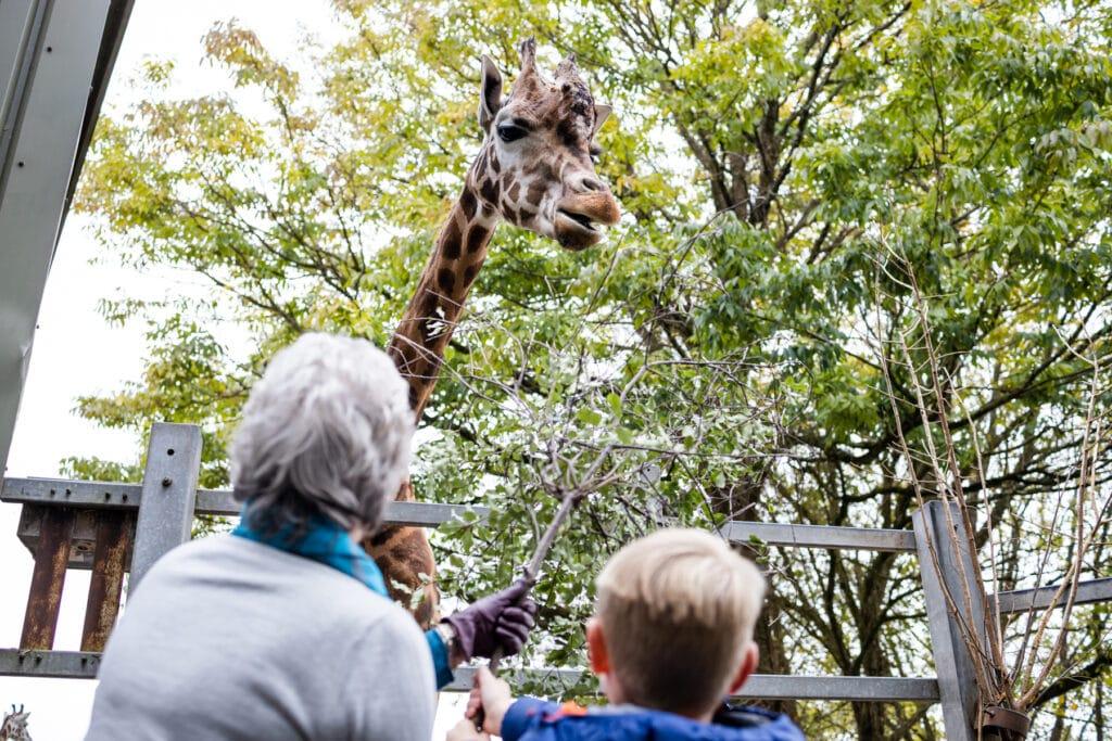 Giraffe feeding experience at Paignton Zoo