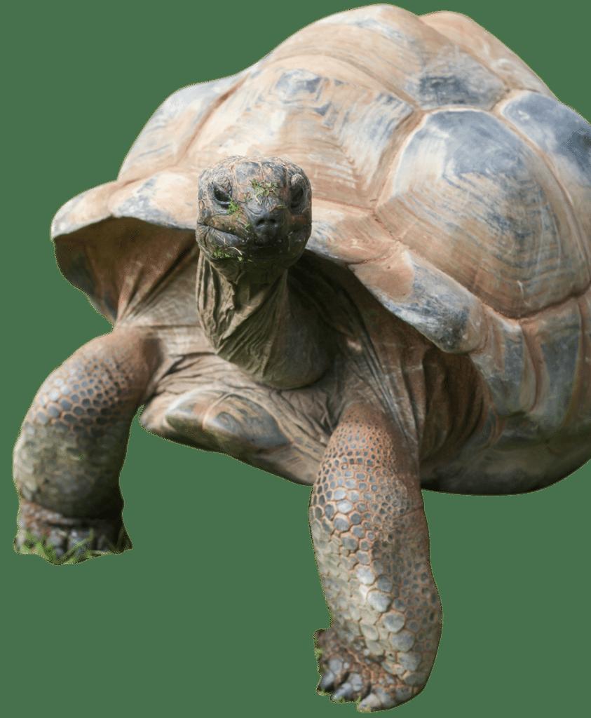 PZ Giant Tortoise