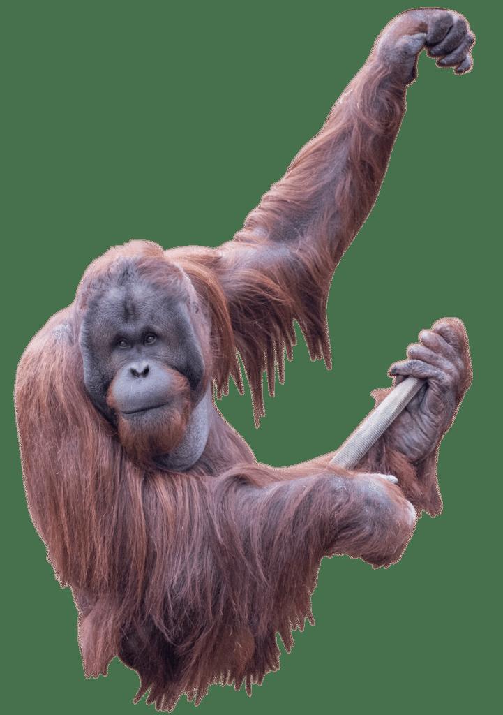 PZ Orangutan