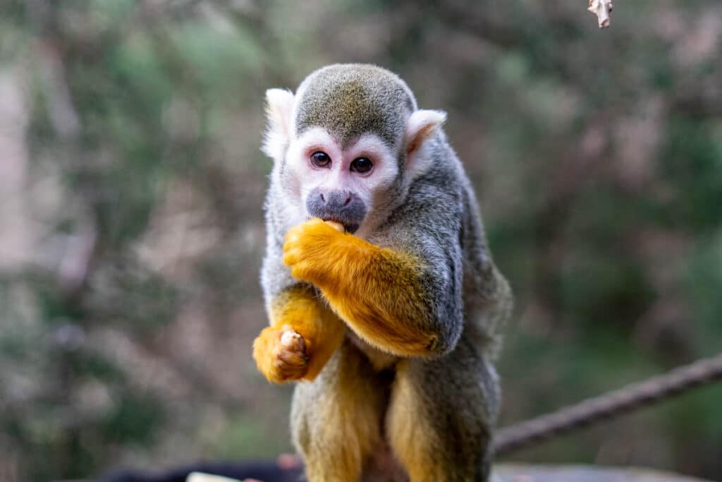 Male squirrel monkey at Paignton Zoo