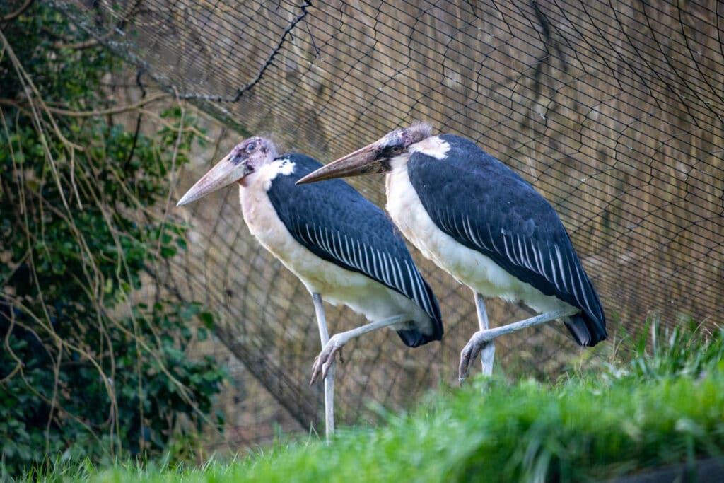 Marabou stork pair at Paignton Zoo