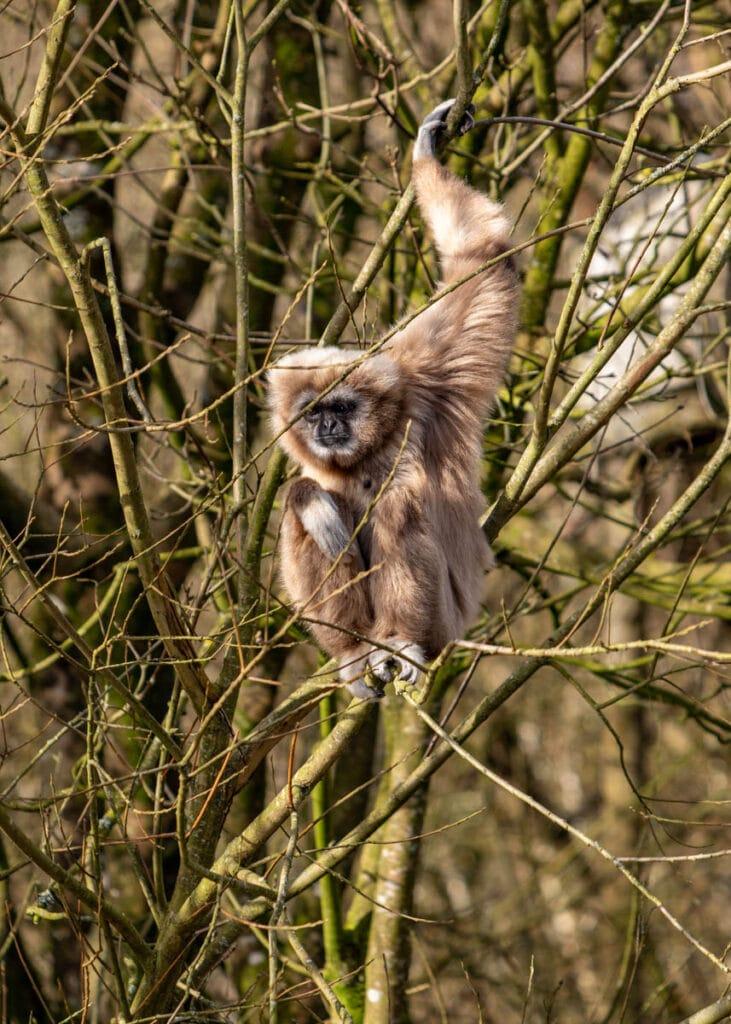 Male lar gibbon at Paignton Zoo