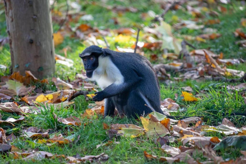 Diana monkey at Paignton Zoo