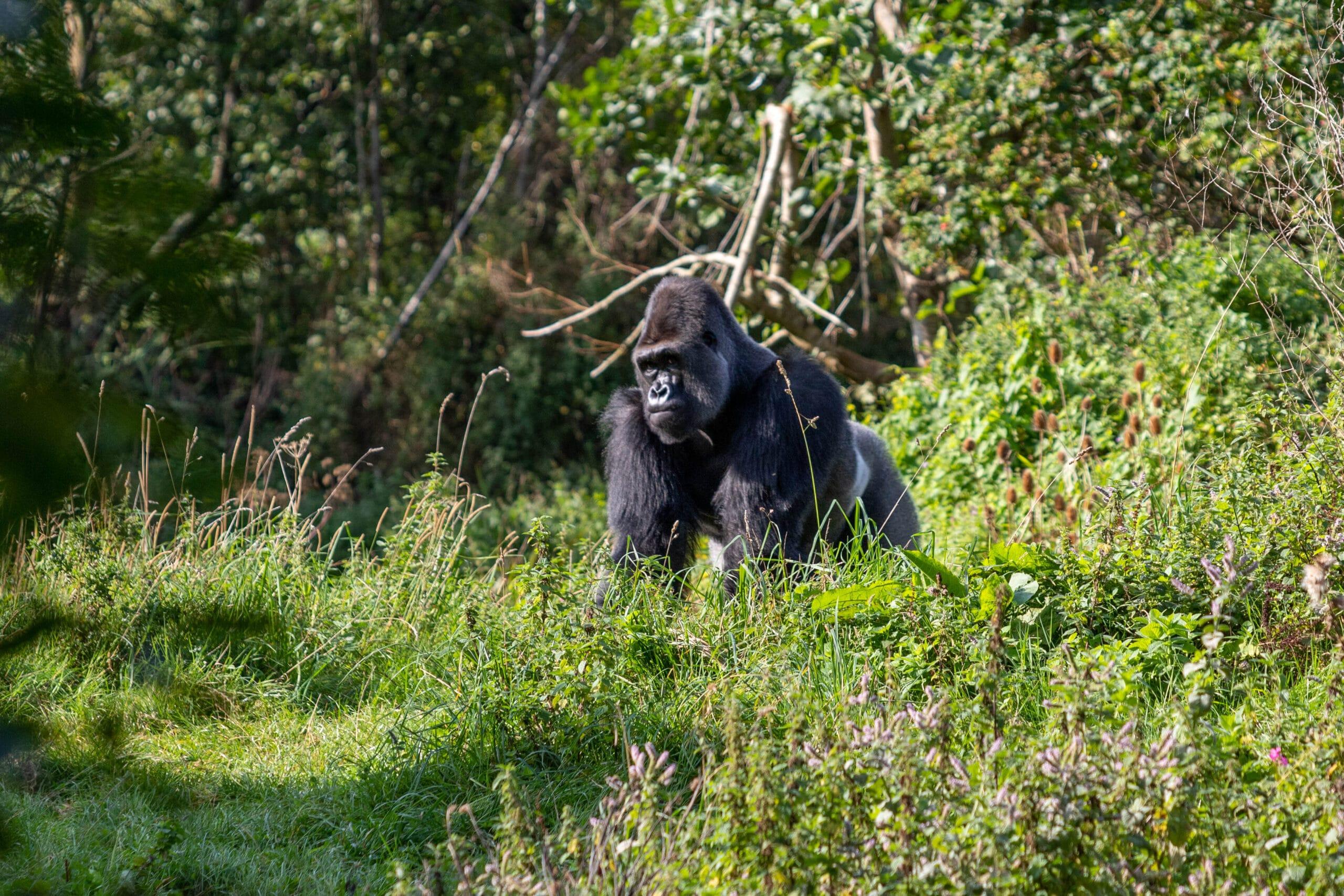 PZ Gorillas Misc 09 20 AD HR 6 scaled