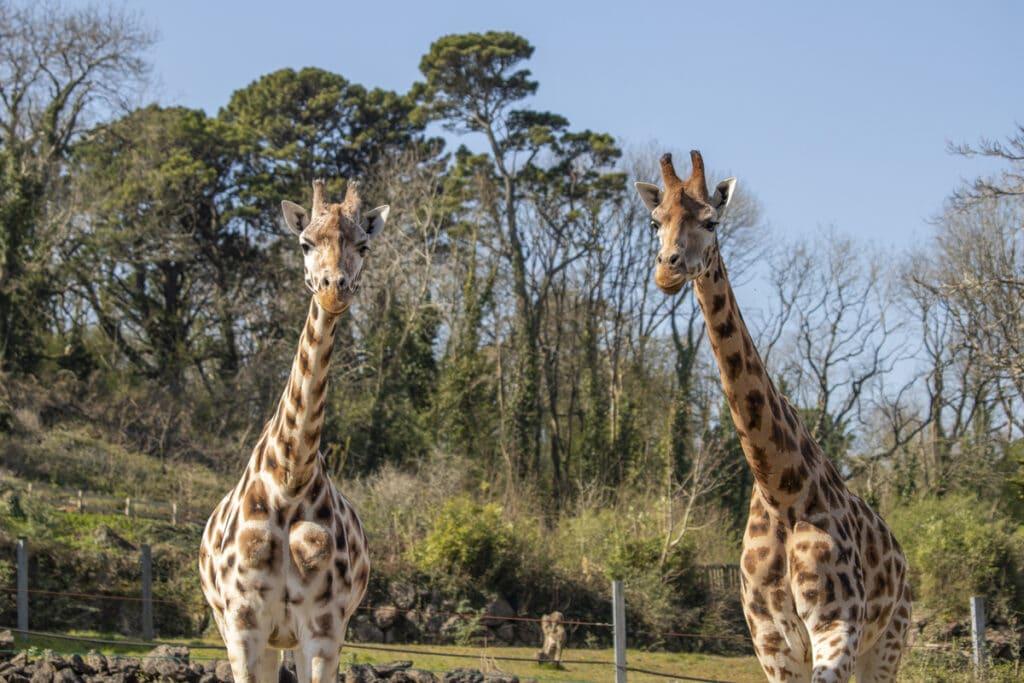 Female giraffes Eliska and Joanna at Paignton Zoo