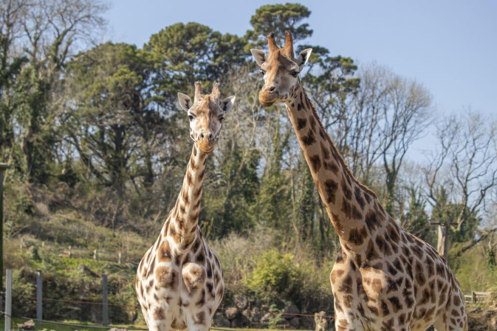 Paignton Zoo giraffes