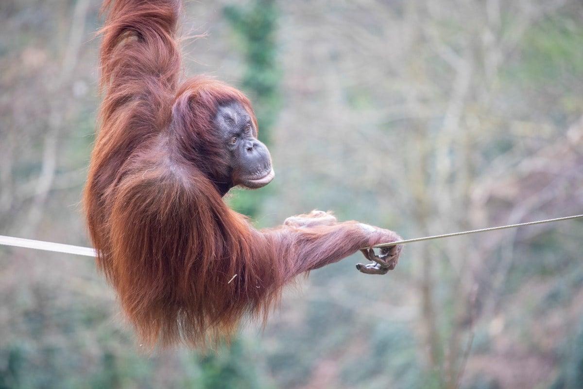 Female Bornean orang-utan Chinta at Paignton Zoo