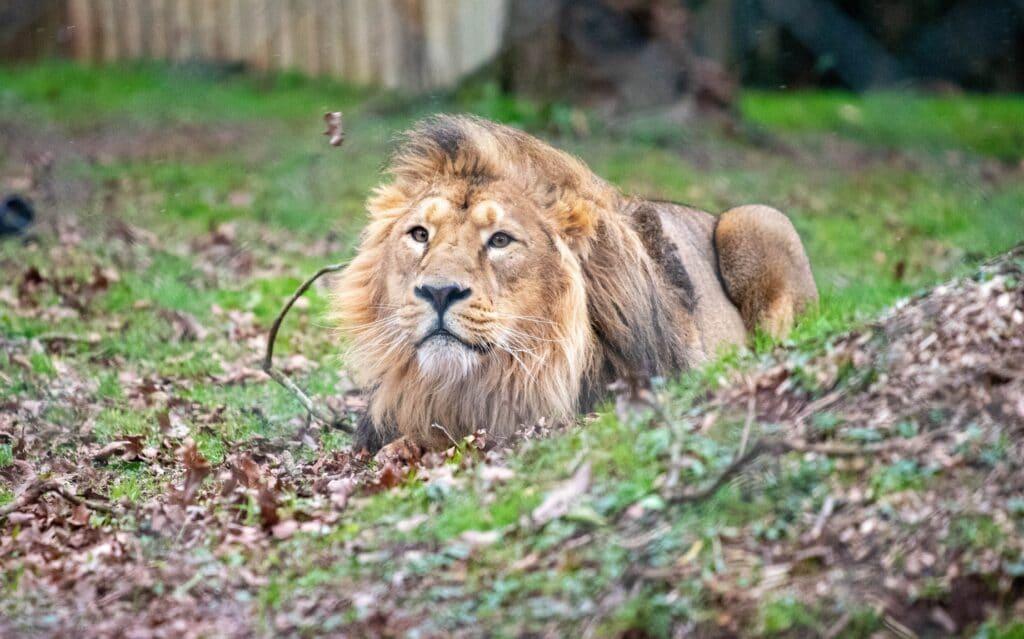 Asiatic lion Yali at Paignton Zoo