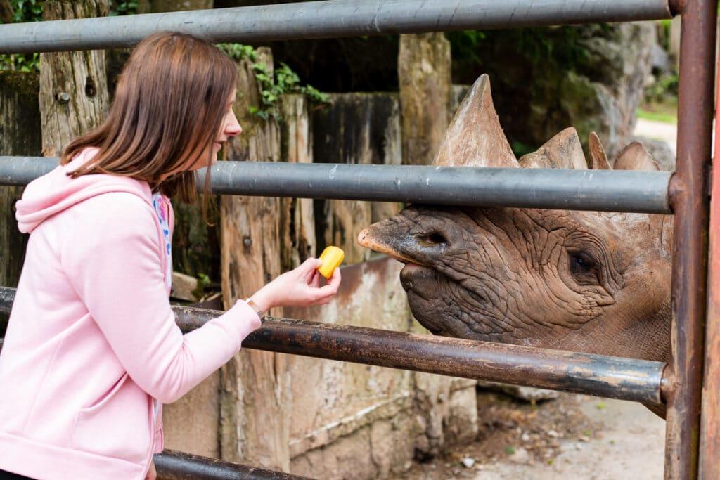 Rhino feeding experience at Paignton Zoo