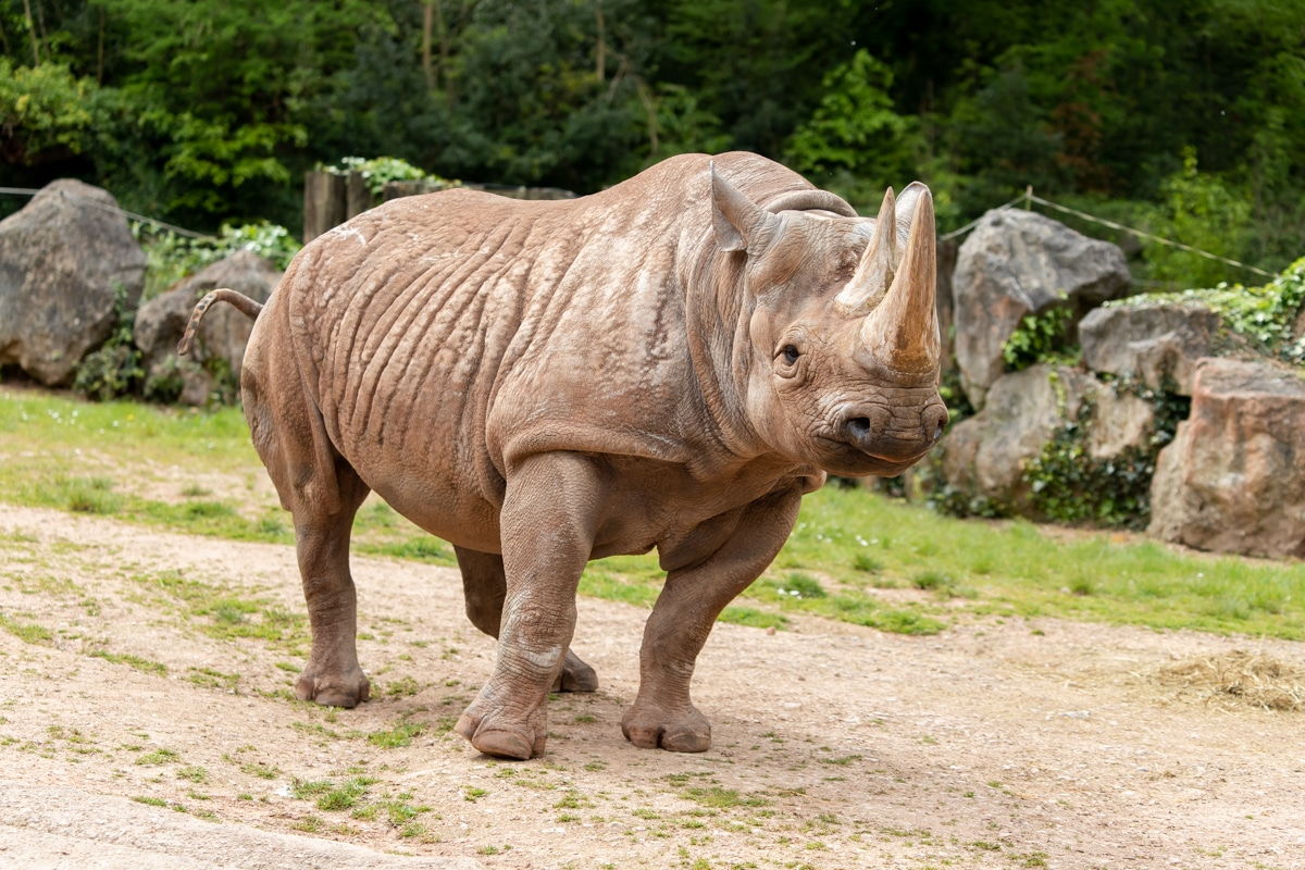 Female black rhino Sita at Paignton Zoo