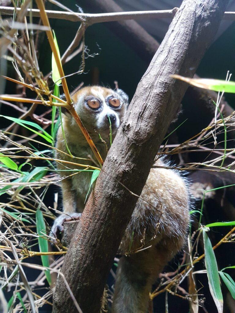 Pygmy slow loris at Paignton Zoo
