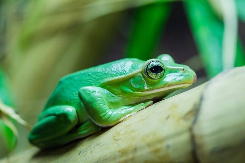 Fea's tree frog at Paignton Zoo