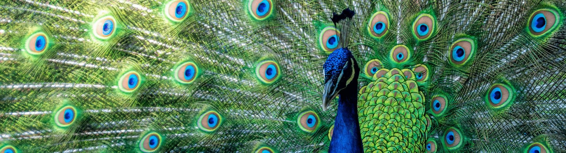 banner peacock