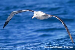 Albatross for blog2