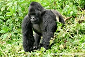 Eastern Gorilla for blog
