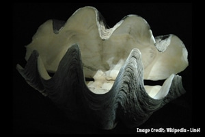 Giant Clam for Blog