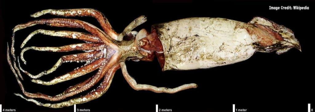 Giant Squid for blog