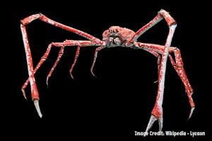 J spider crab for blog