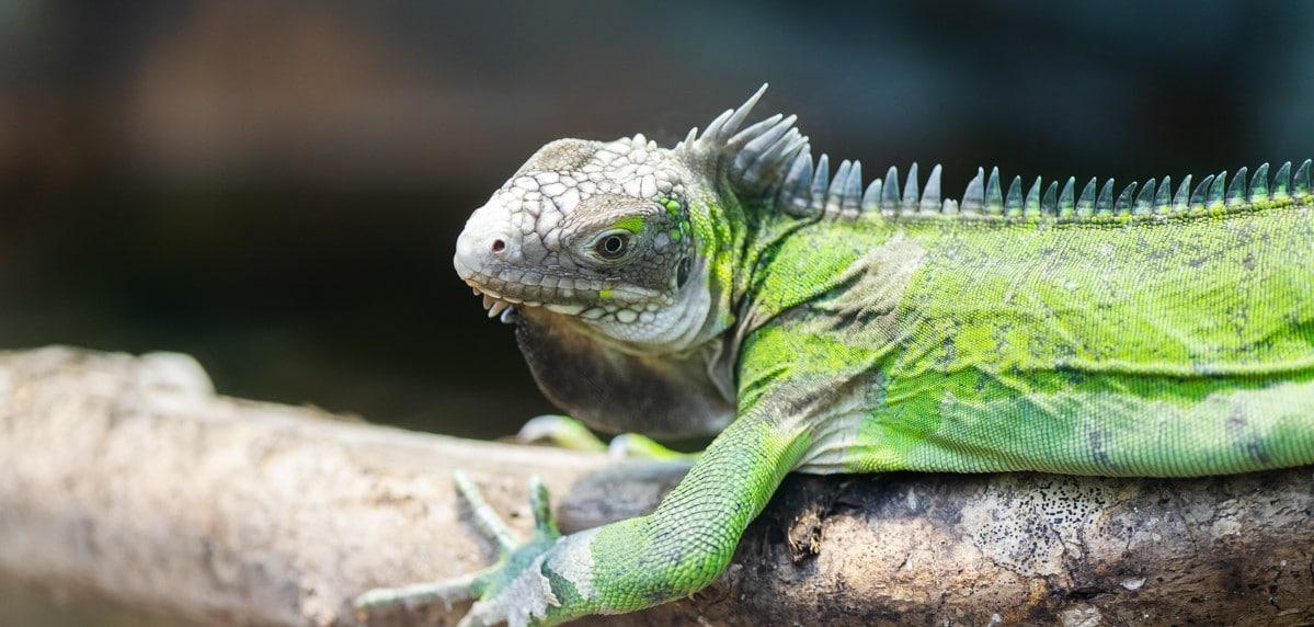 Lesser Antillean iguana at Paignton Zoo