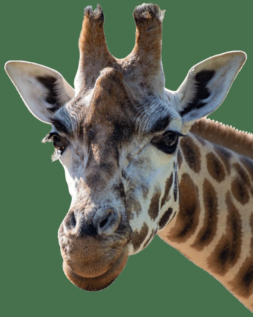 PZ Giraffe crop