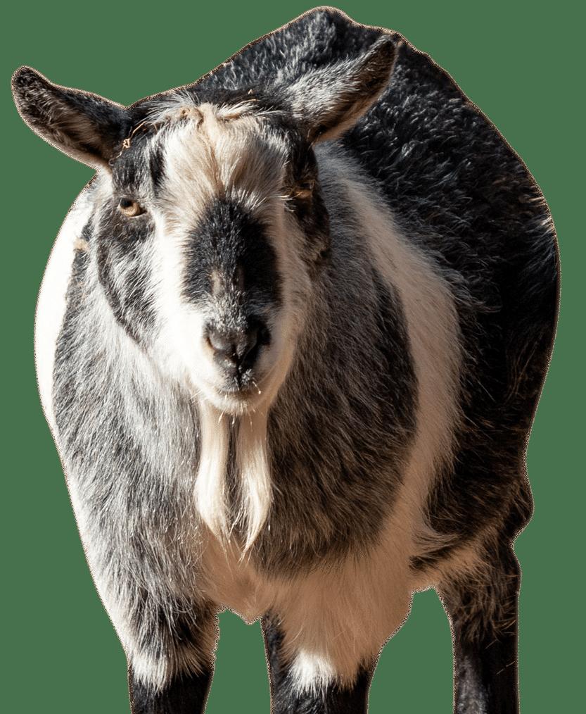 PZ Goat 1