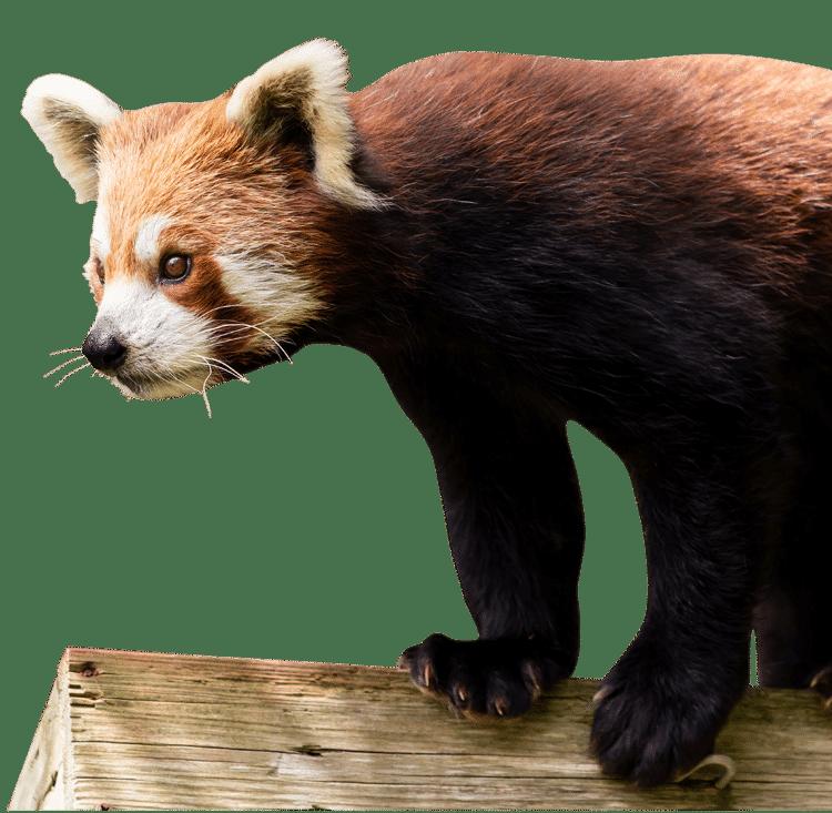 PZ red panda
