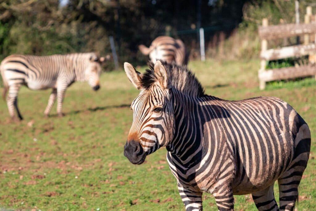 Male Hartmann's mountain zebra Jabali in field at Paignton Zoo