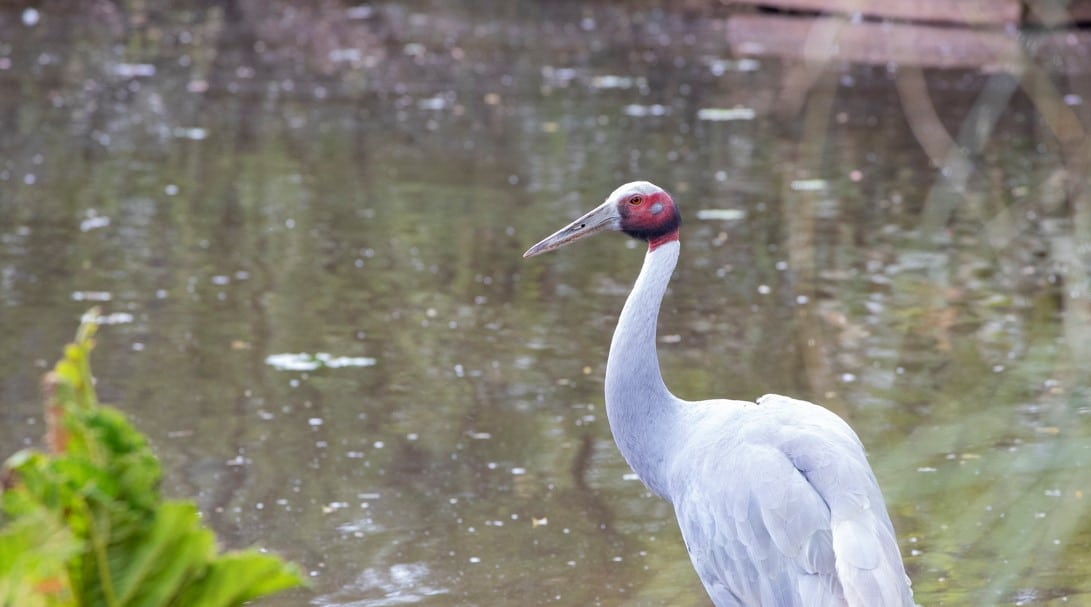 Sarus crane at Paignton Zoo
