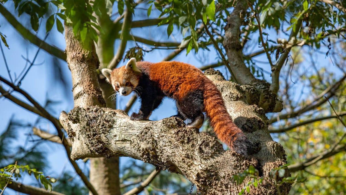 Female red panda Ember at Paignton Zoo