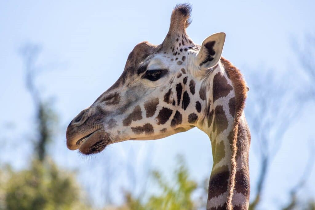Female Rothschild's giraffe at Paignton Zoo