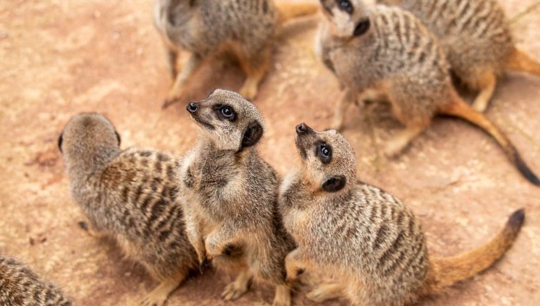 Meerkats looking up at Paignton Zoo