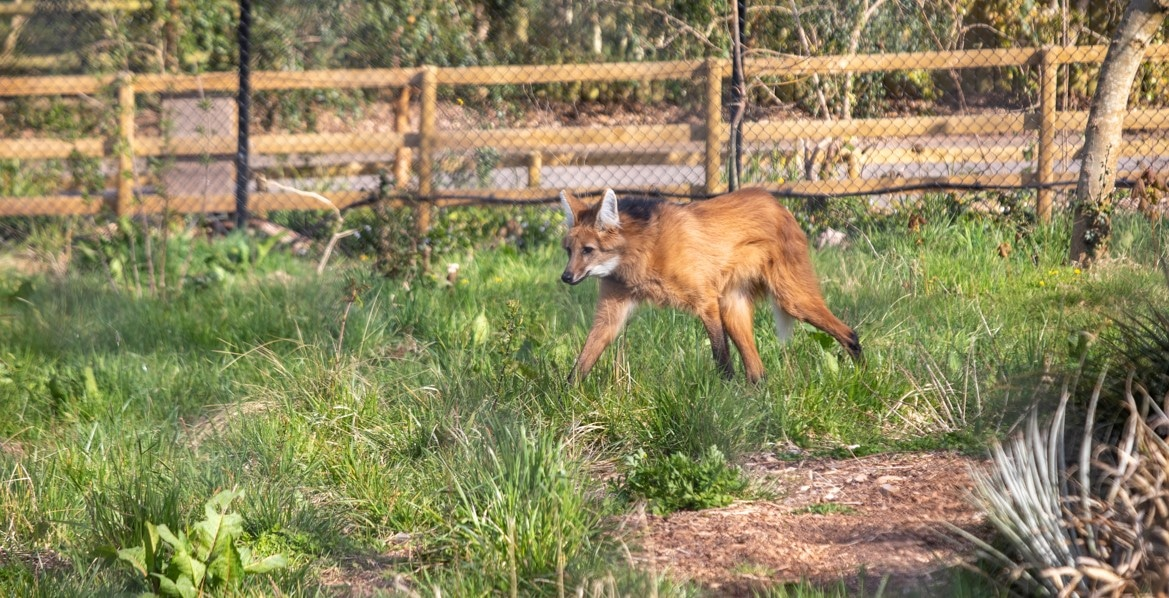 Male maned wolf Tolock at Paignton Zoo