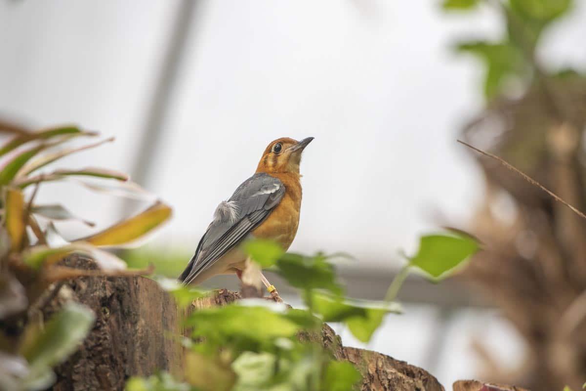 Orange headed thrush at Paignton Zoo