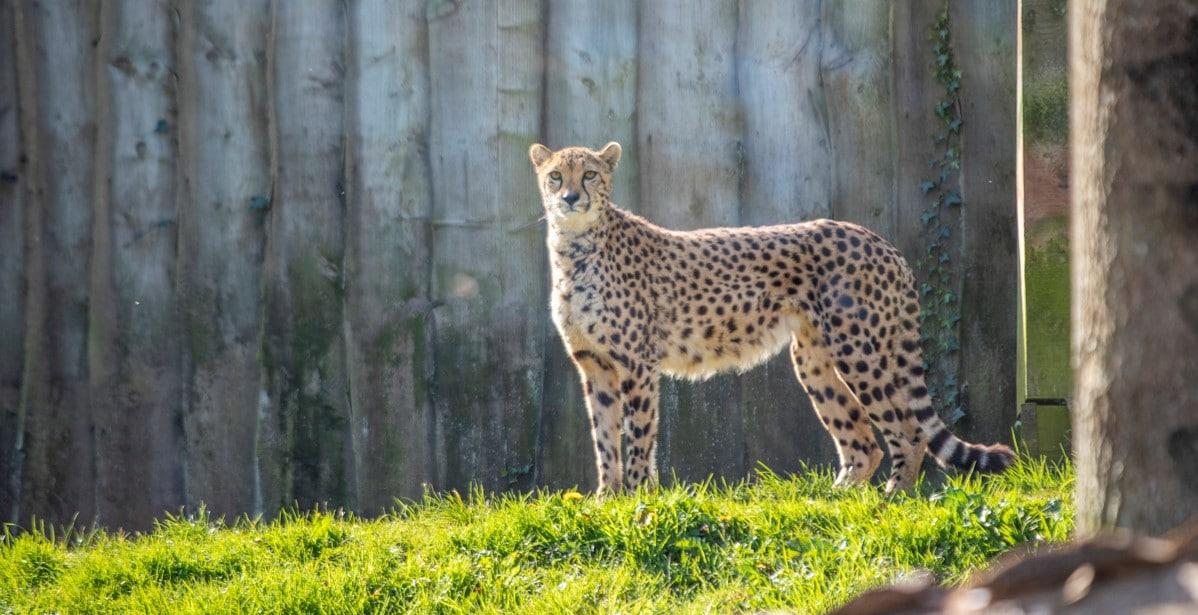 Female cheetah Jahzara at Paignton Zoo