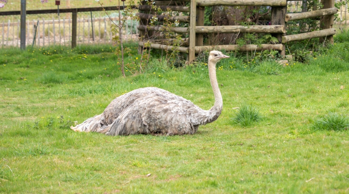 Female red-necked ostrich Maisy at Paignton Zoo