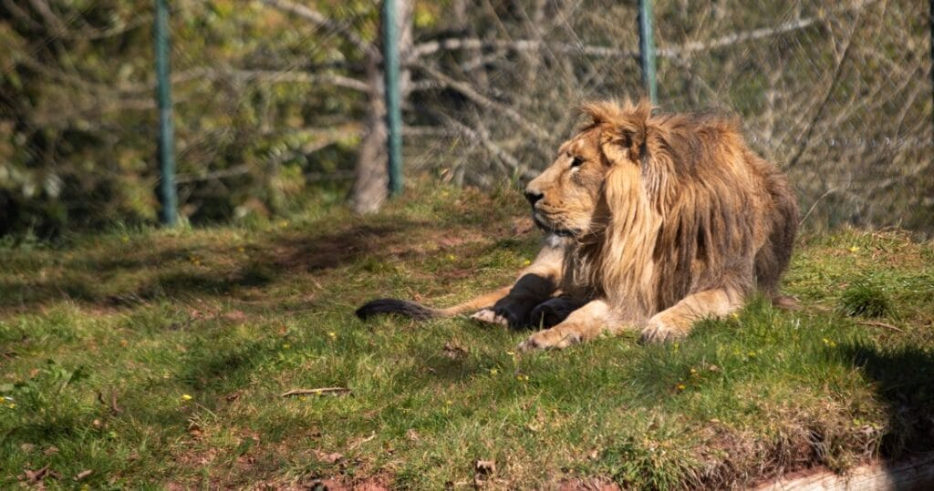 Male Asiatic lion Yali at Paignton Zoo