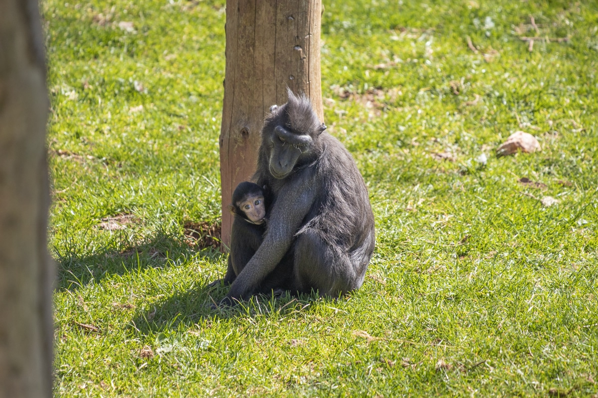 Macaque mother and daughter at Paignton Zoo