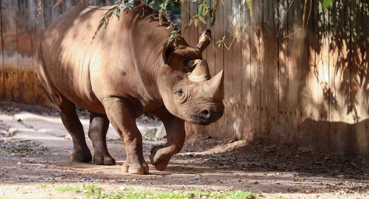 Black rhino Manyara at Paignton Zoo