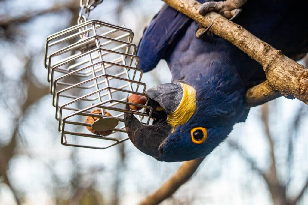 Hyacinth macaw with enrichment at Paignton Zoo