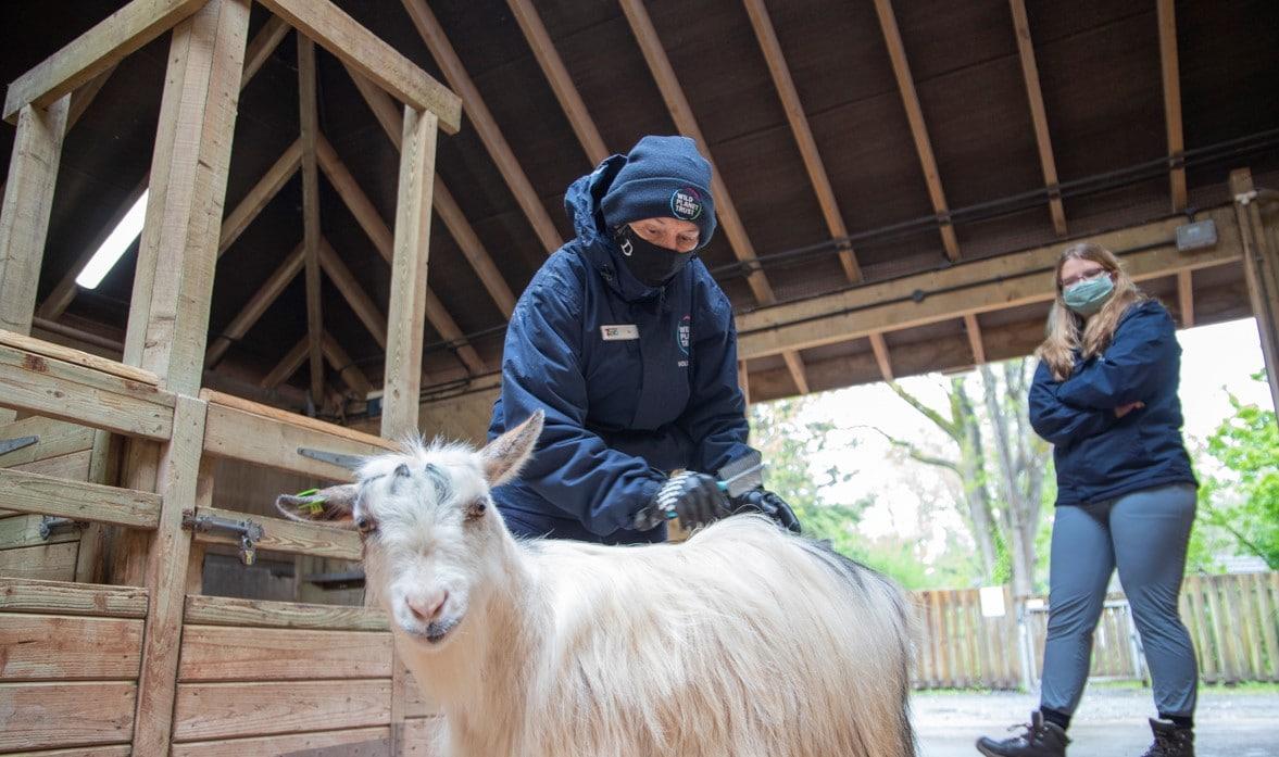 Ranch volunteer grooming goat at Paignton Zoo