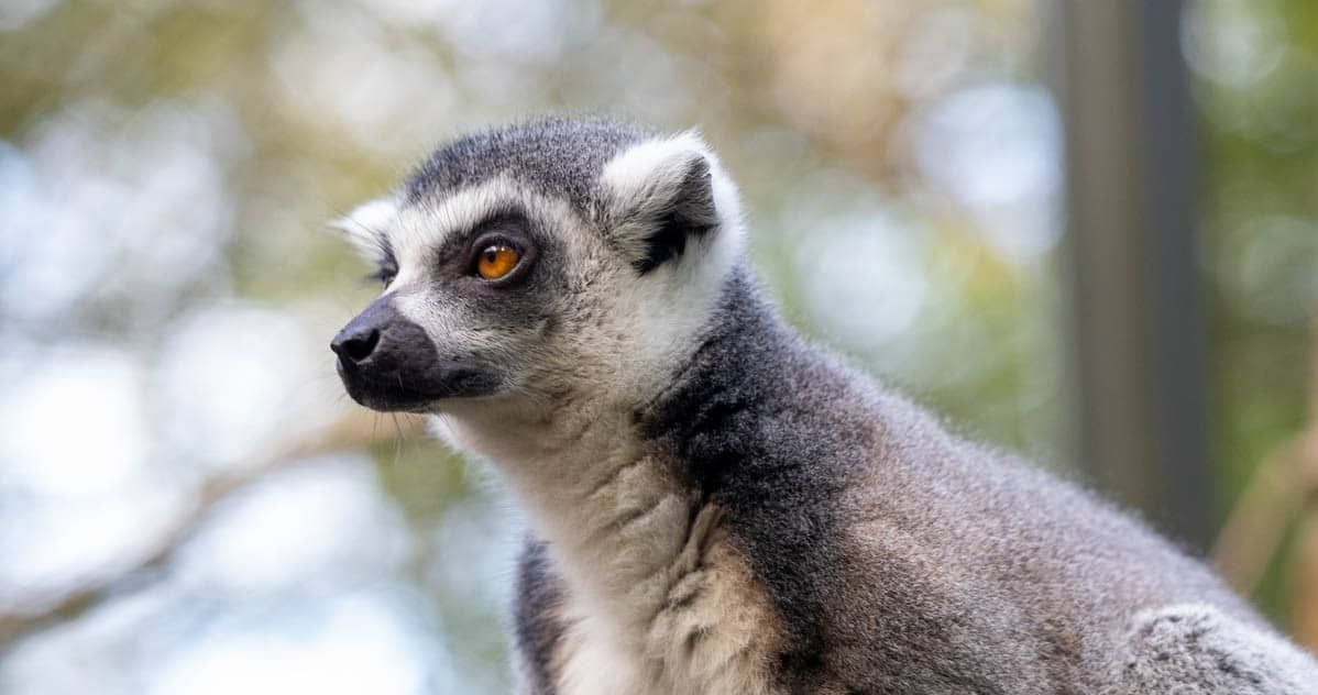 Male ring-tailed lemur at Paignton Zoo