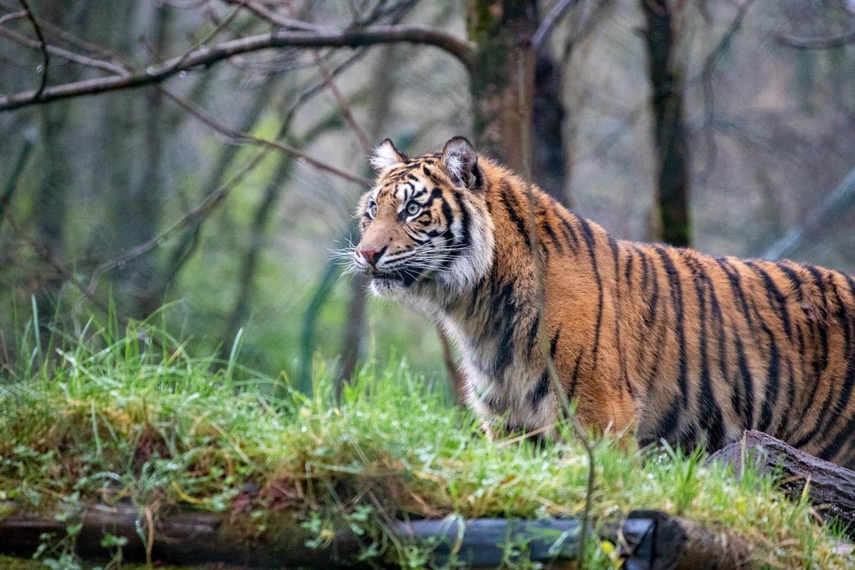 PZ Sumatran Tigers 12 20 LR 11