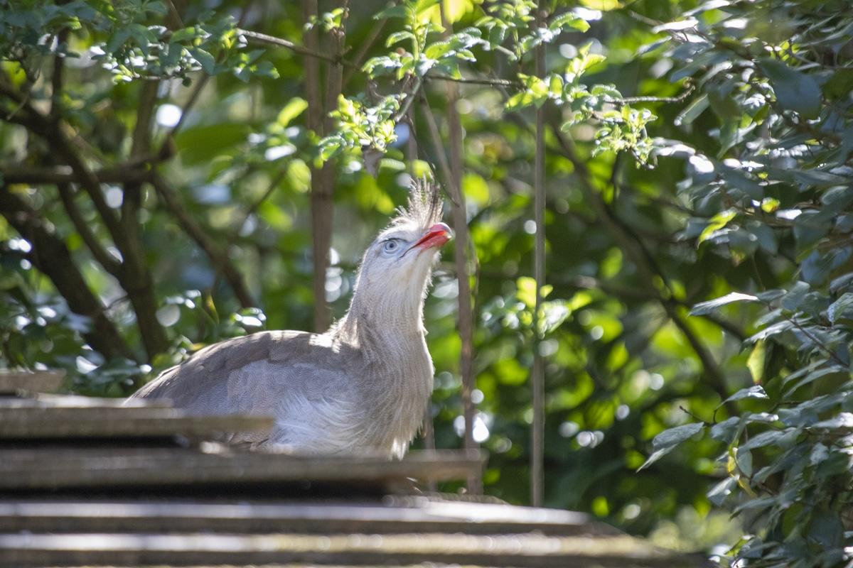 Red-legged seriema at Paignton Zoo