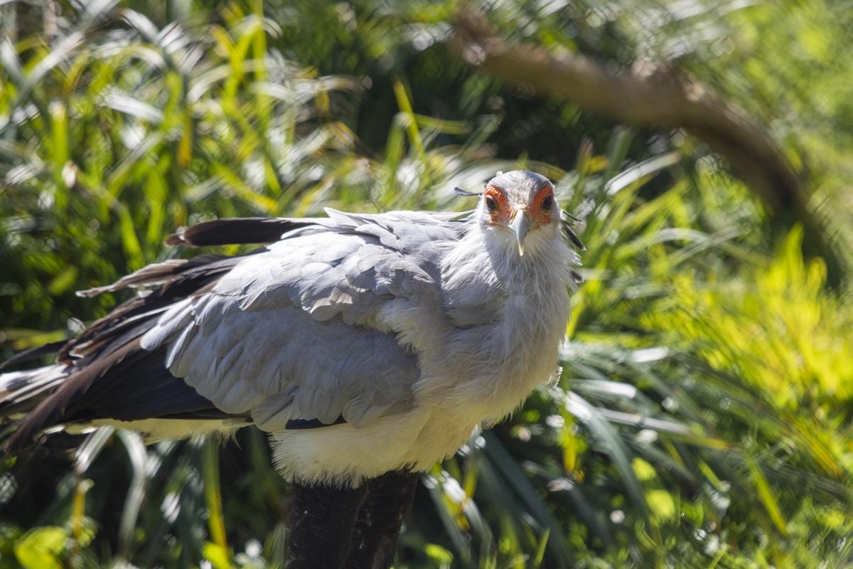 Female secretary bird at Paignton Zoo
