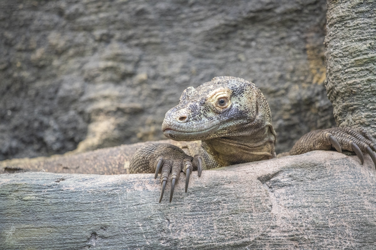 Female Komodo dragon Khaleesi at Paignton Zoo