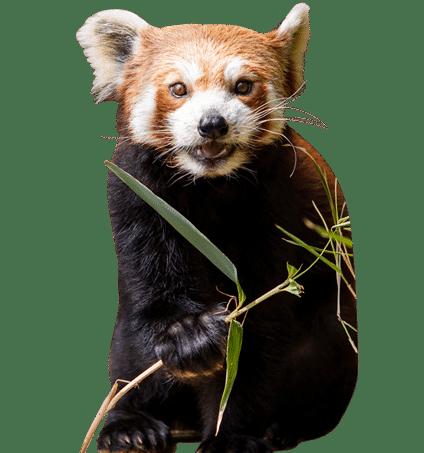 red panda cropped 2 1